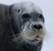 Phoque barbu