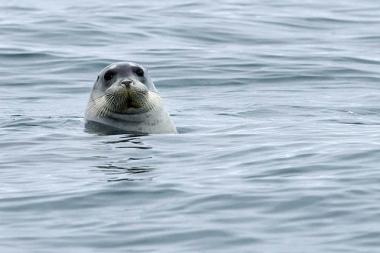 Phoque barbu curieux