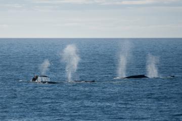 Un groupe de baleines à bosse (5 sur la photo)