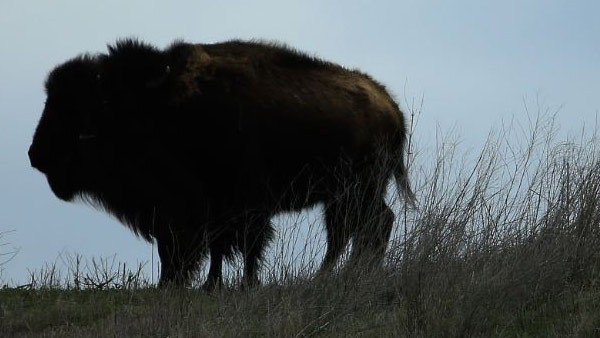 R-BISON-MONTANA-GETTY-IMAGE_1533312374299.jpg