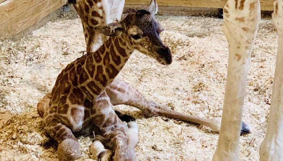 april giraffe baby_1552762805929.jpg.jpg