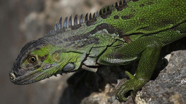 iguana lizard_1555504732207.jpg_82912701_ver1.0_640_360_1555507162972.jpg.jpg