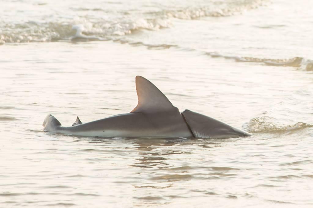 New Symrna Beach >> Florida Man Bitten By Shark In New Smyrna Beach