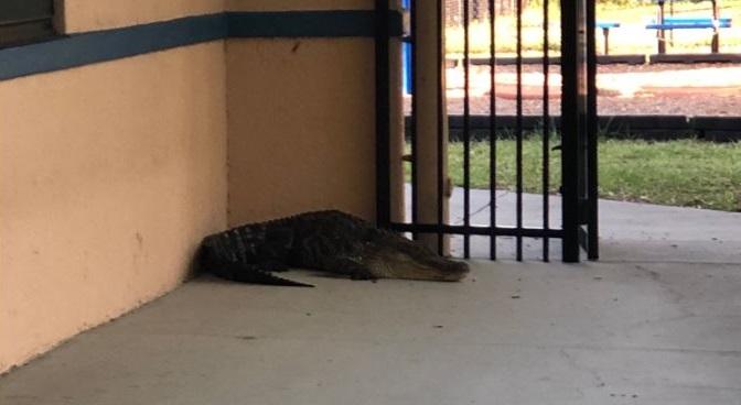 gator at school_1559161057362.JPG.jpg