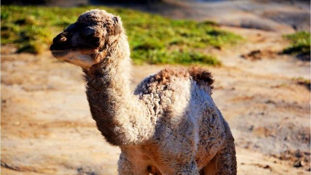 baby camel 3_1550518979075.JPG_73687615_ver1.0_640_360_1550527238646.jpg.jpg