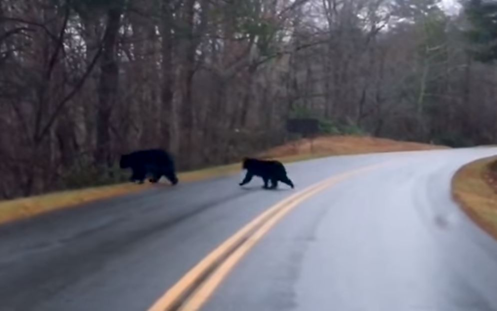 Bear crossings, although not as common during this season is still possible due to the mild climate, says the Blue Ridge Parkway.