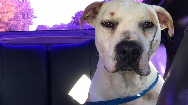 Dog Believed To Have Been Abused Finds New Home Calls Attention For Need Of Stronger Animal