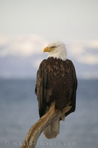 Bald Eagle Pics Homer Alaska