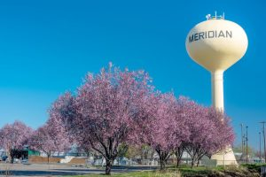 Pink trees in Meridian Idaho with yellow water tower and blue sky.