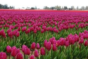 skagit-tulip-festival2