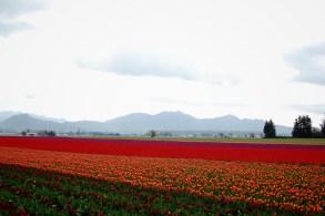 skagit-tulip-festival4