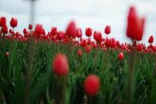 skagit-tulip-festival5