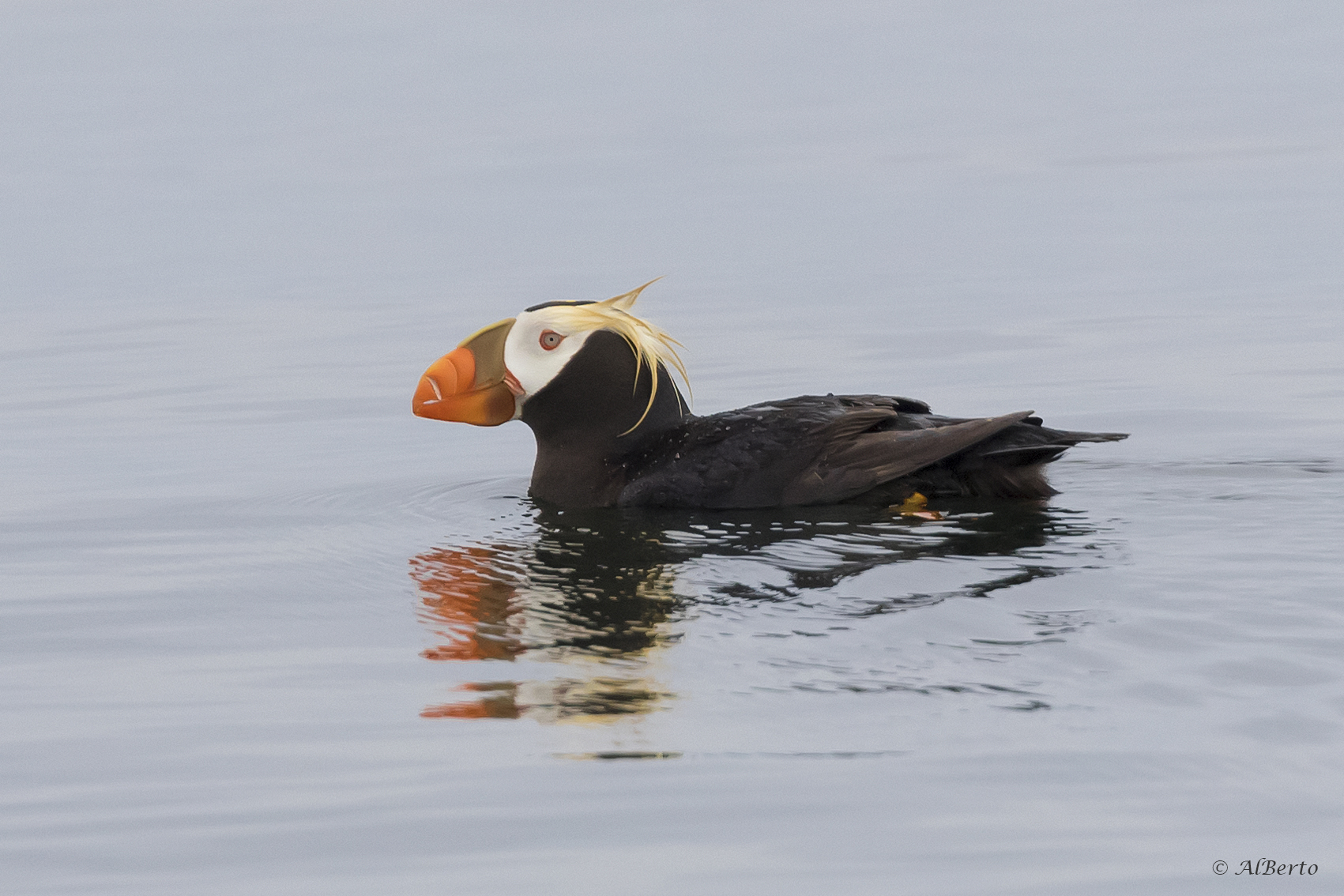 searching for the tufted puffin with san juan cruises whatcomtalk