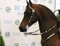 BC Morgan Horse Show in Lynden @ Northwest Washington Fairgrounds- Equine Event Center