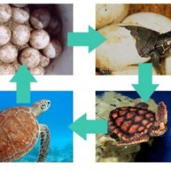 Sea Turtle Life Cycle Diagram Audi A6 C7 Towbar Wiring | What Do Turtles Eat