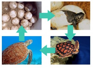 sea turtle life cycle diagram access control wiring | what do turtles eat