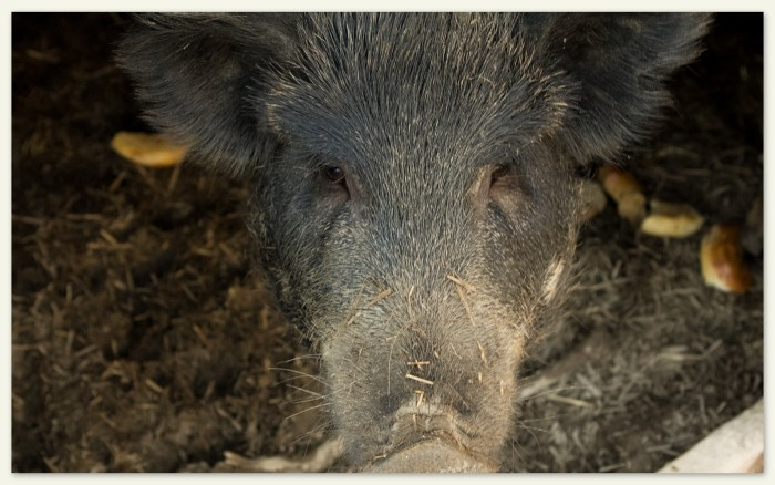 Mommy Pig