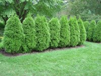 Ranking Four Popular Evergreens As Privacy Screens | What ...