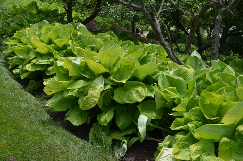 Prissy Row Hostas What Grows Re Hugh Conlon Empress Wu Hosta S