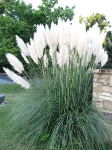 Pampas Grass  Have We Learned A Lesson  What Grows