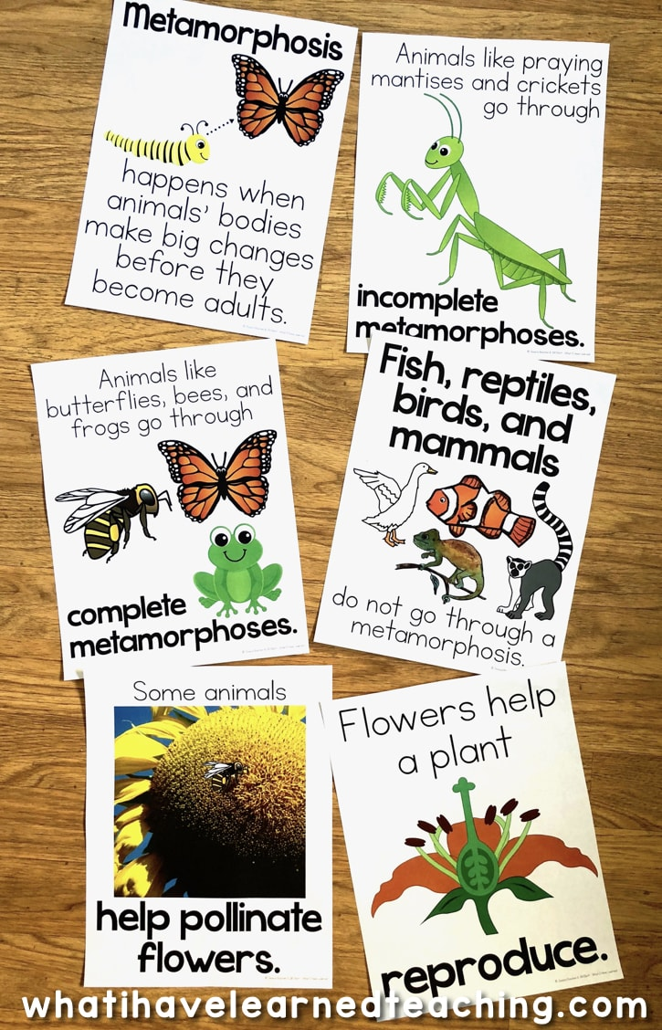 hight resolution of Life Cycle of a Butterfly Teaching Ideas