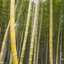 kyoto-day-4-bamboo-grove_4104332498_o