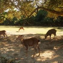 kyoto-day-5-deer-park-nara_4106524946_o