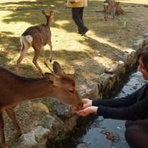 kyoto-day-5-feeding-the-deer_4105757947_o