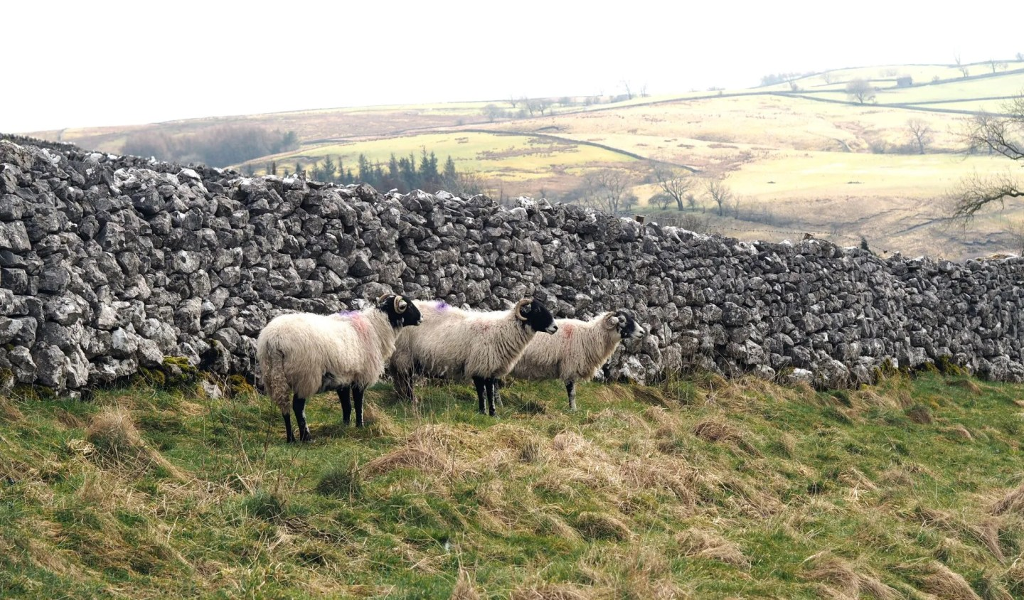 what lizzy loves sheep in Malham