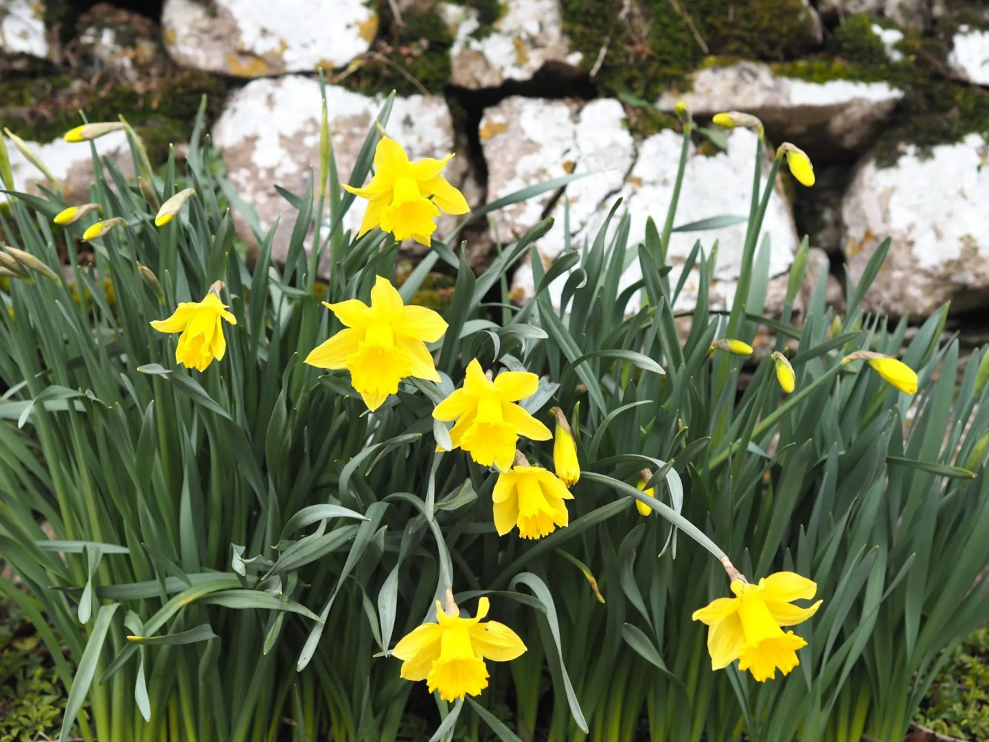 what lizzy loves daffodils