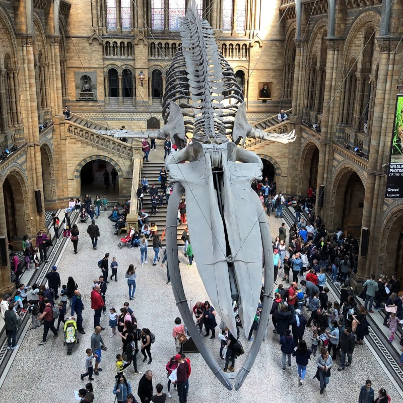 Whale skeleton at Natural History museum London