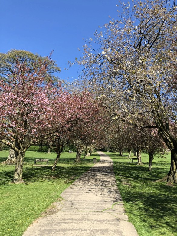 Blossom trees in park