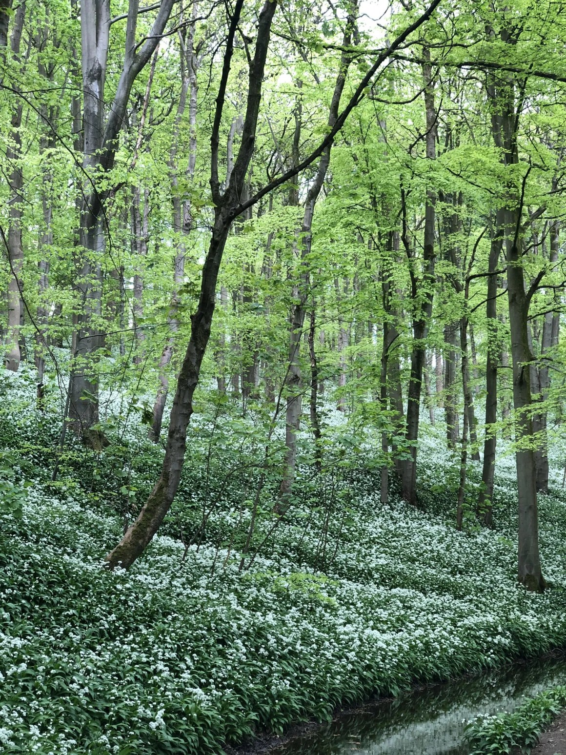 wild garlic in Skipton Woods