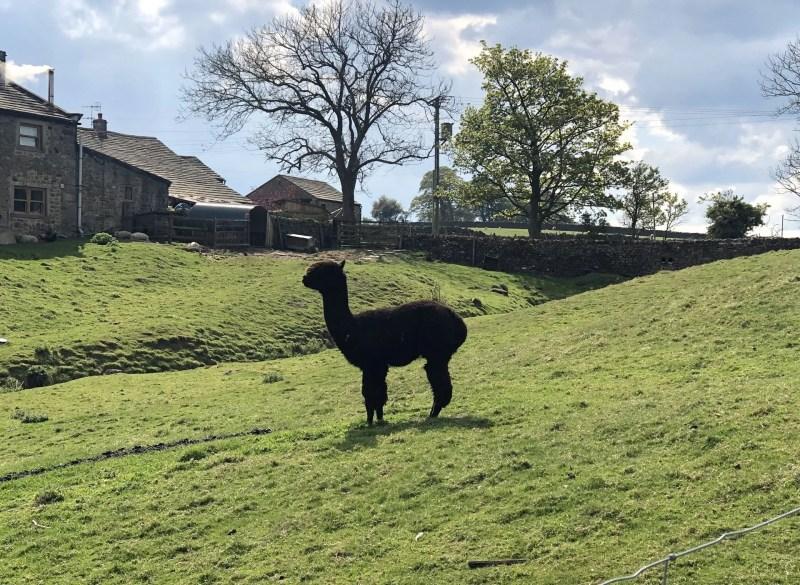 black llama in field