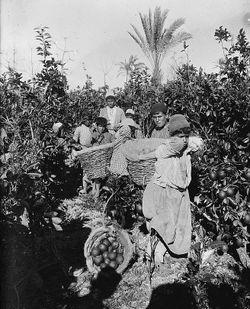 Harvesting jaffa oranges