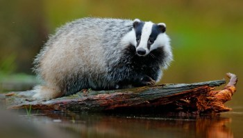 Animal Symbolism: Skunk Meaning on Whats-Your-Sign com