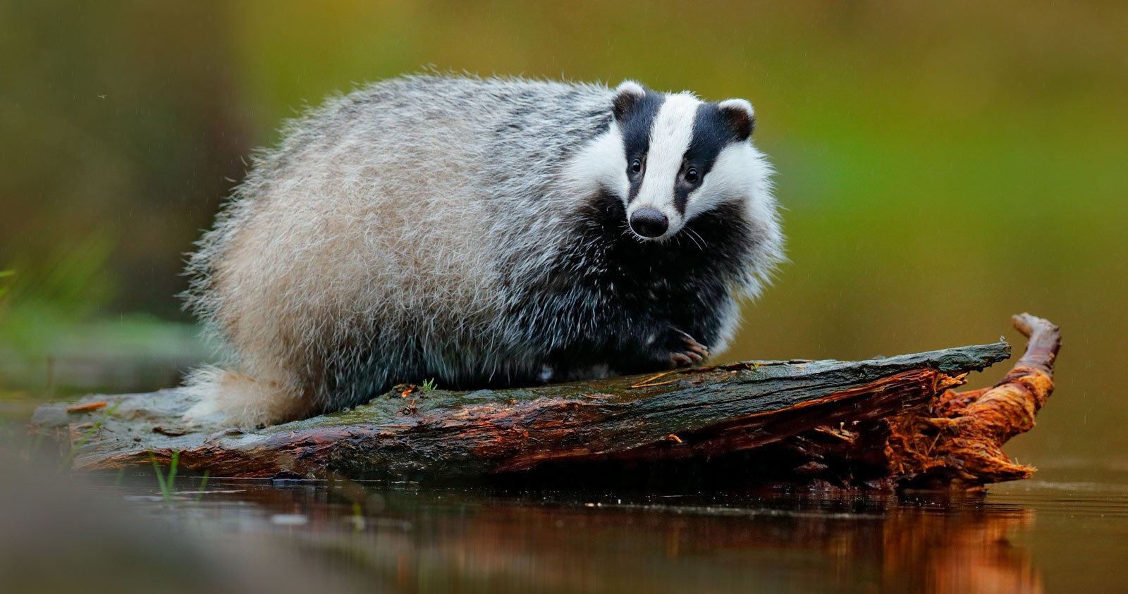 Badger Animal Symbolism On Whats Your Sign
