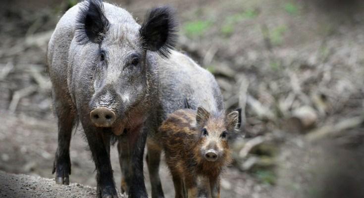 wild boar meaning