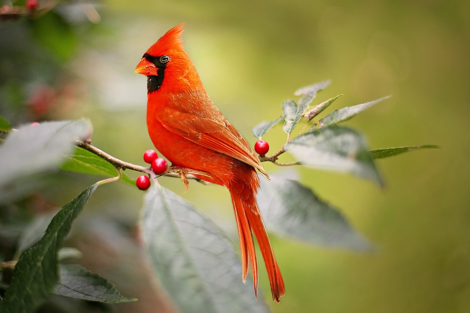 animal symbolism cardinal meaning on whats your sign com