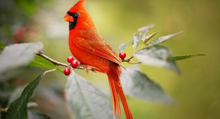 animal symbolism cardinal meaning