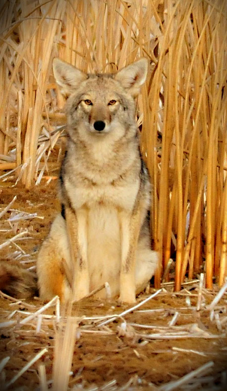 Animal Symbolism Coyote Meaning On Whats Your Sign
