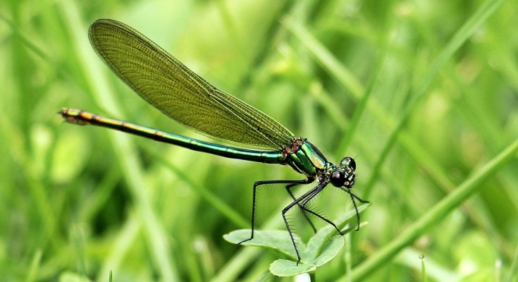 animal symbolism dragonfly meaning