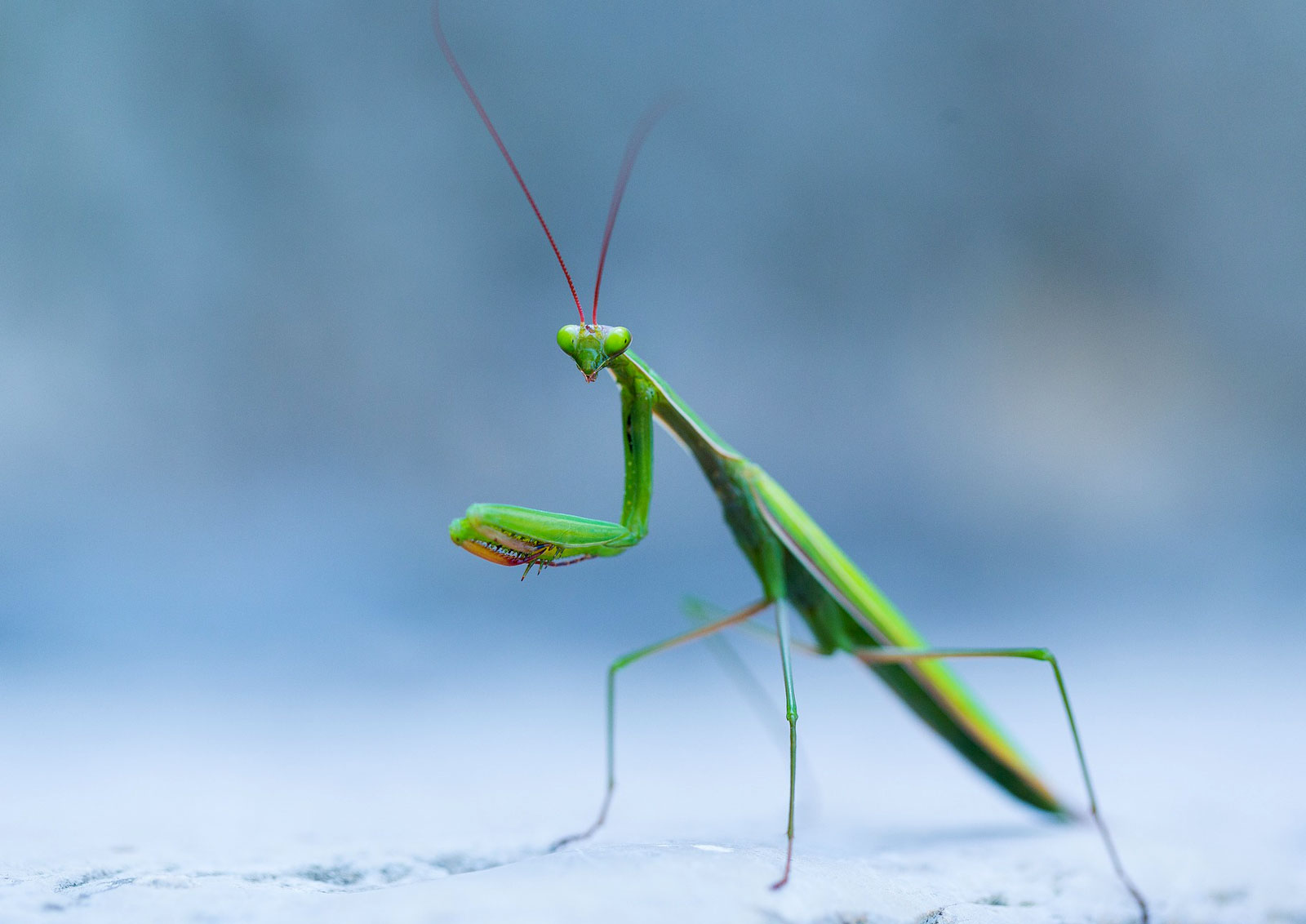 Animal Symbolism Praying Mantis Meaning Whats Your Sign