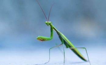 animal symbolism praying mantis meaning