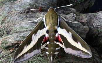 animal symbolism moth meaning