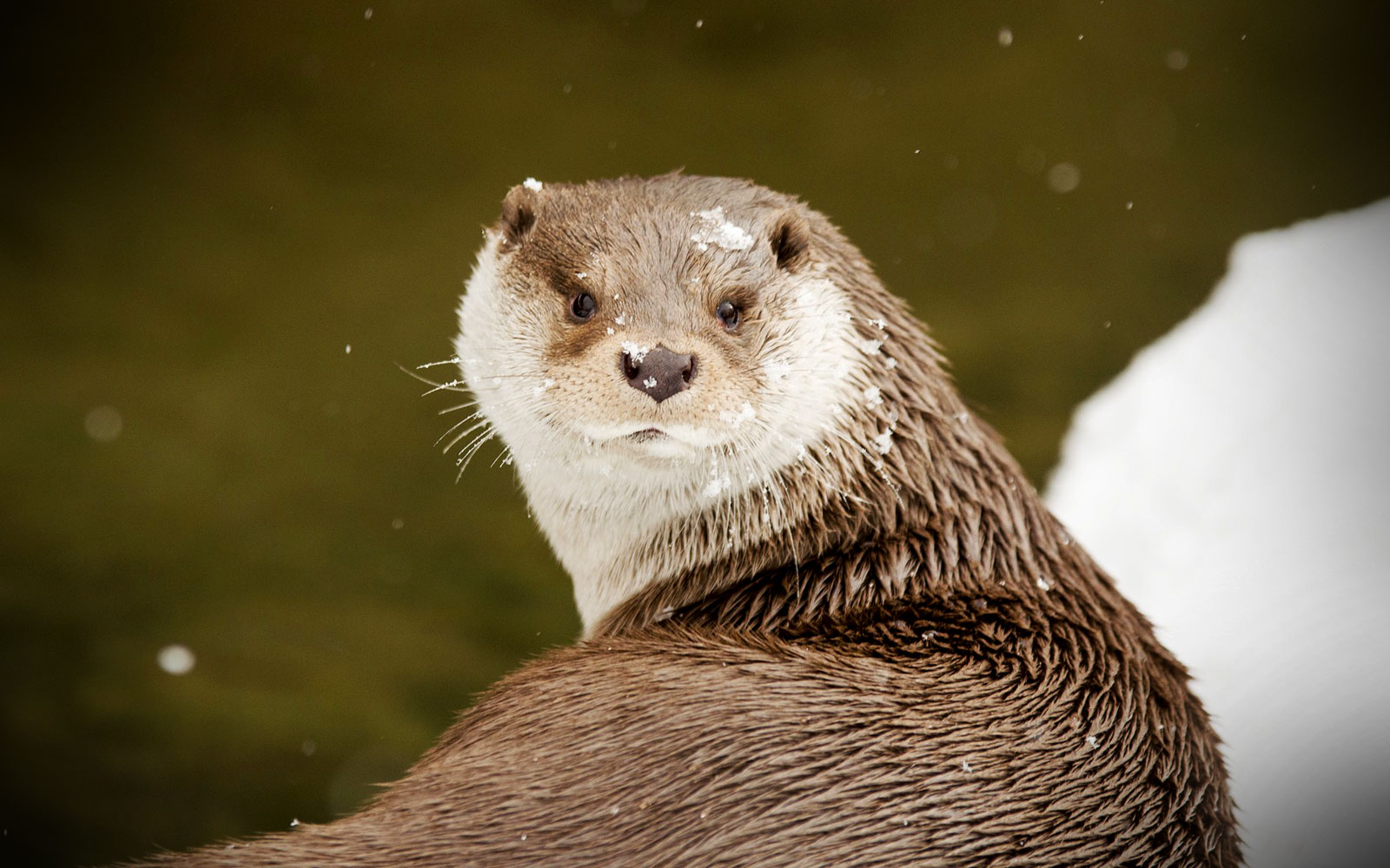 Animal Symbolism Otter Meanings On Whats Your Sign