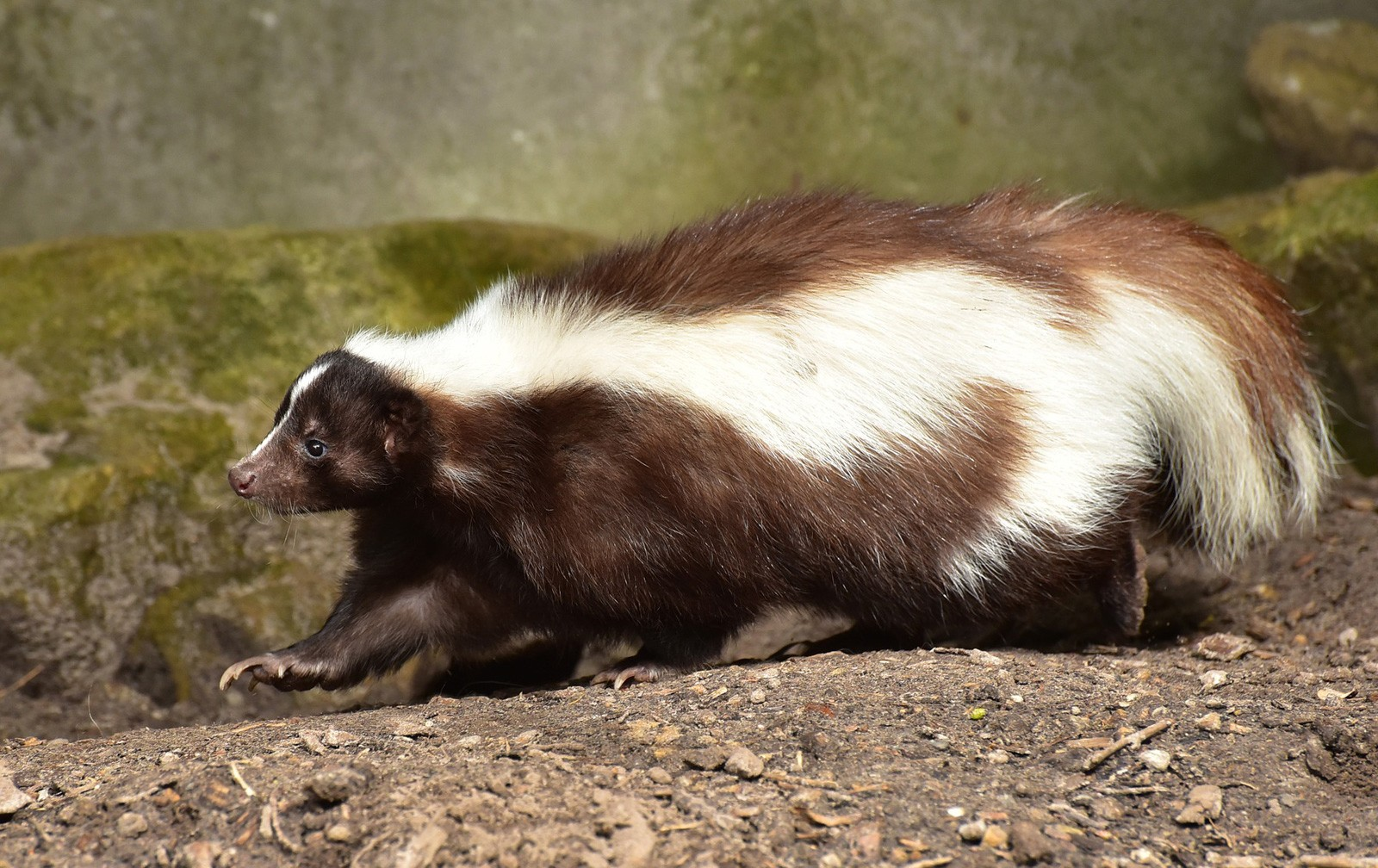 Animal Symbolism Skunk Meaning On Whats Your Sign