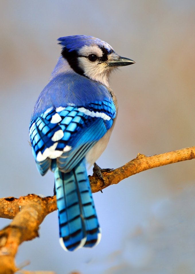Blue Jay Animal Symbolism And Meanings Whats Your Sign