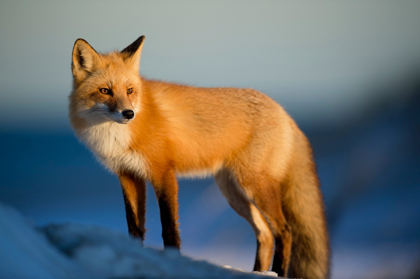 Celtic Zodiac Sign: Fox Meaning and Astrology on Whats-Your-Sign