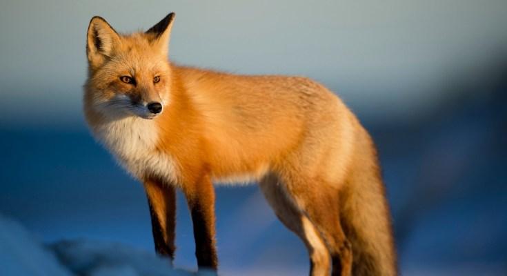 Celtic zodiac sign fox meanings